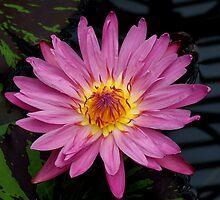 Pink buetty by breshneaf