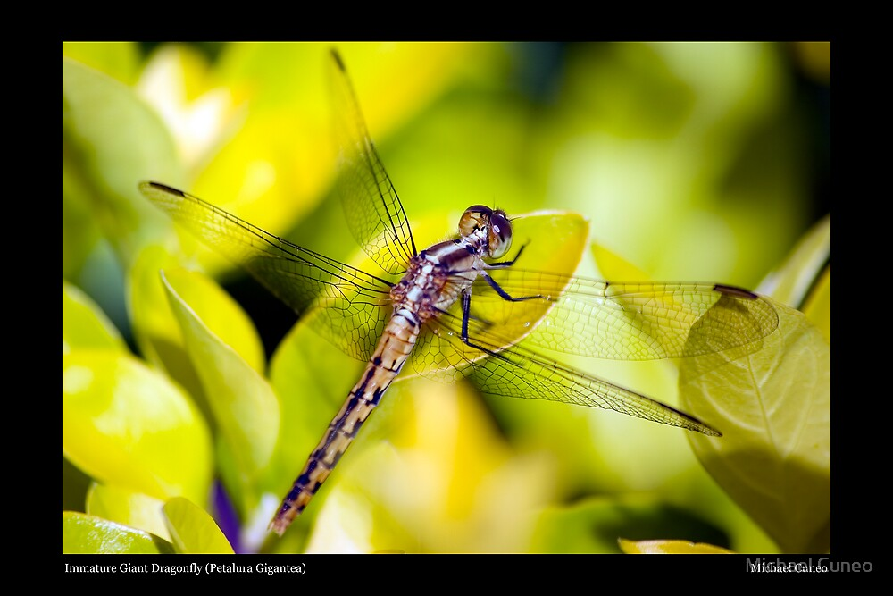 Immature Giant Dragonfly (Petalura Gigantea) by Michael Cuneo