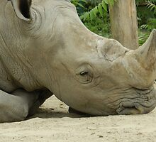 Rhino Snooze by ransleydale