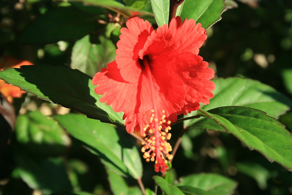 Hibiscus flower by Anon