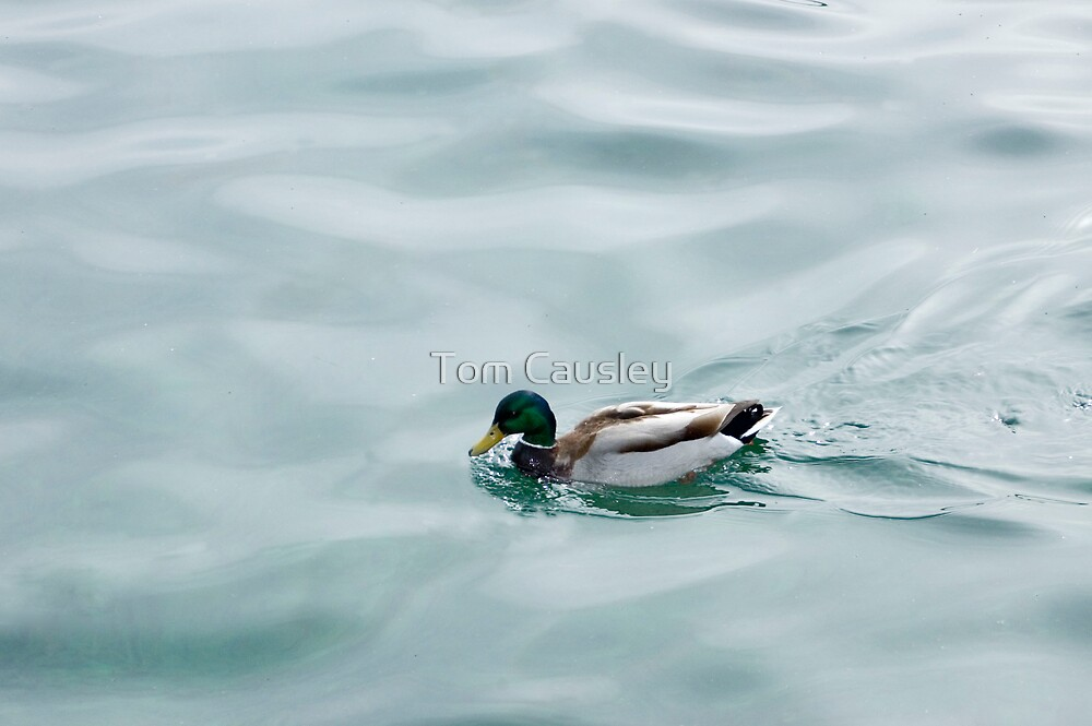 Swimming Duck by Tom Causley