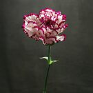 Carnation by lawrencew