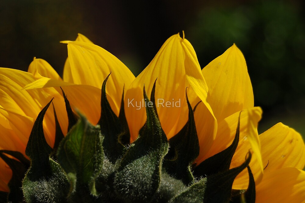 Rising Sunflower by Kylie Reid