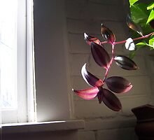 wandering jew by grassinmytoes