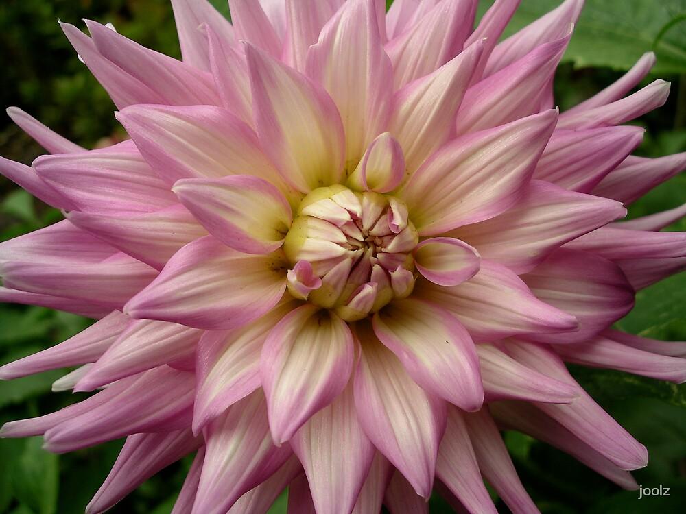Dahlia in Bloom by joolz
