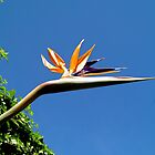Bird of Paradise by joolz