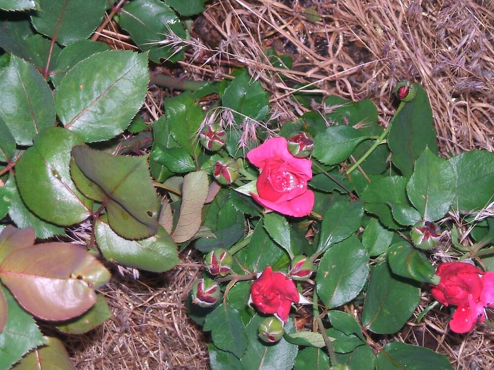 rose bush by monkey8149