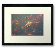 orange goldfish in the water 2007 Framed Print