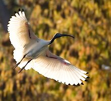 Ibis in flight by Gavin Brown