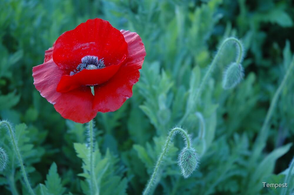 Poppy by Tempest