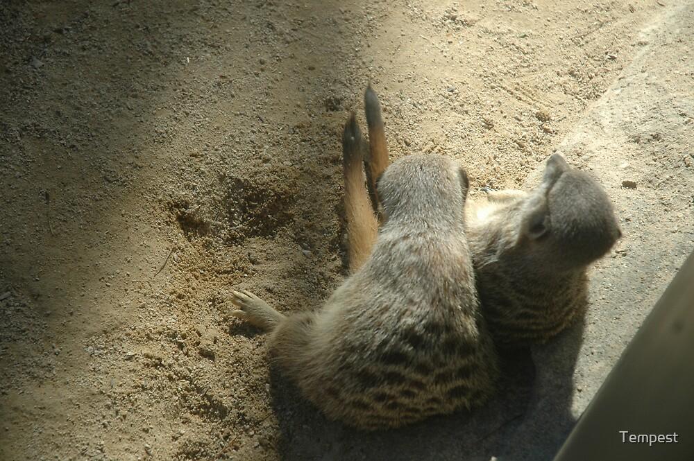 Meerkats by Tempest