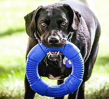 """Black Lab Mix"""" Cooper"""" Formerly Dodger by Peggy  Volunteer Photographer FOR RESCUE ANIMALS"""