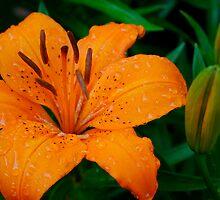 Orange Lilly by David Bridle