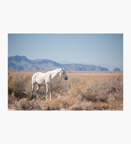 Proud white Stallion  Photographic Print