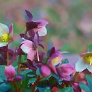 Lenten Roses by Eileen McVey