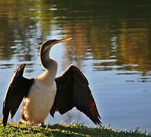Darter drying feathers in the dawn sun by Martin Pot