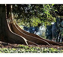 roots of a giant fig tree Photographic Print