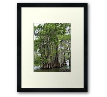Cypress trees in Louisiana Framed Print