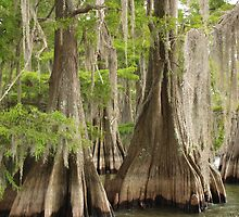 Cypress trees in Louisiana by BCrittenden