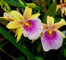 Gorgeous Miltonia Sunset Orchid by Mythos57