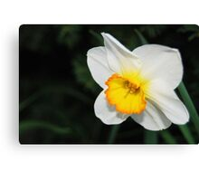 Daffodil with a Touch of Orange Canvas Print