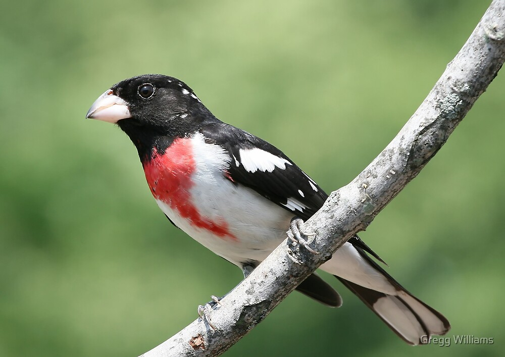 Red Breasted Grosbeak by Gregg Williams