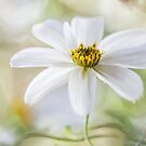 Bidens by Mandy Disher