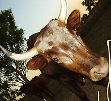 Bulls by vjwriggs