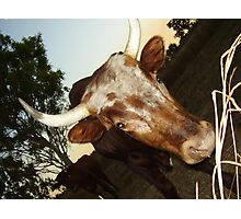 Bulls Photographic Print