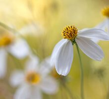 Bidens cosmos by Mandy Disher