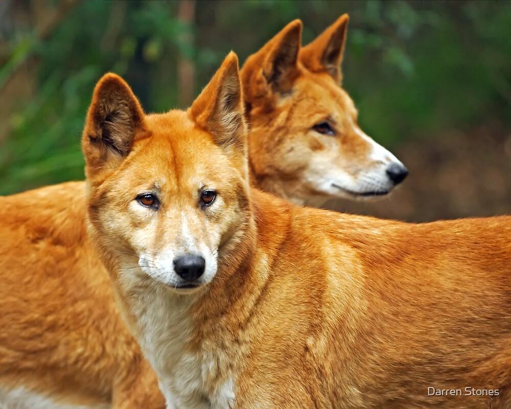 Dingoes by Darren Stones