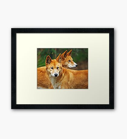 Dingoes Framed Print