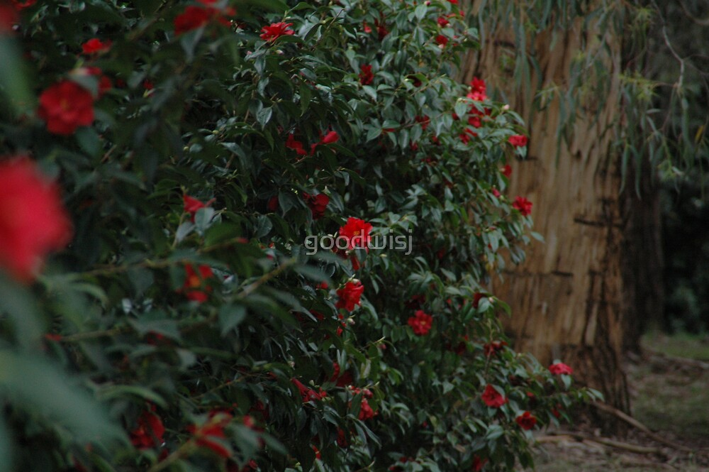 Red Camelias  by goodwisj