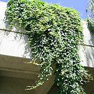 vines on roof by oilersfan11