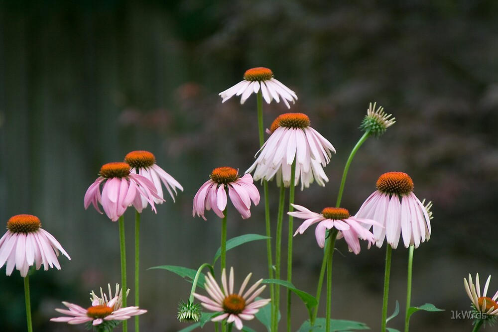 cone flowers by 1kWrds