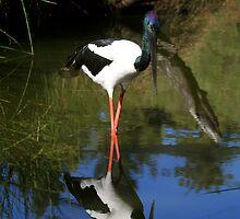 Black-necked Stork by Martin Pot