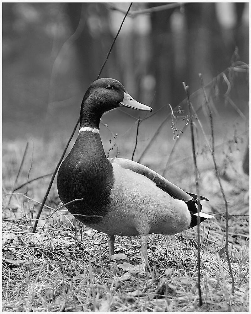 mallard duck by slater