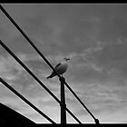 seagull by Matthew Sime