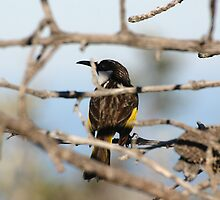 Honeyeater1 by David Noonan