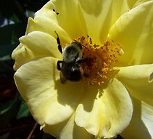 bee on yellow rose by tomcat2170