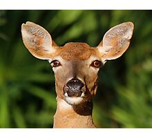 White Tailed Deer Profile Photographic Print