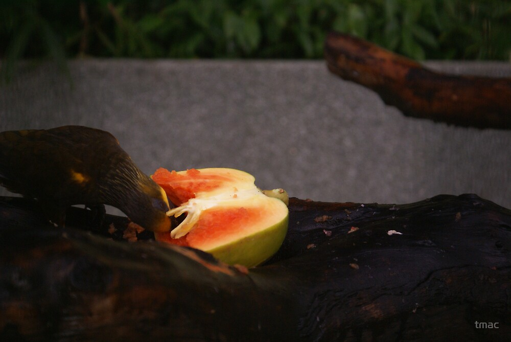 Singapore - Sentosa Bird Eating Fruit 1 by tmac