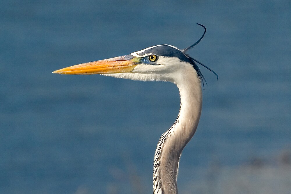 Great Blue Heron Head Portrait by Delores Knowles