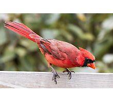 Male Cardinal Photographic Print