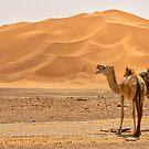 Wild Camels by Omar Dakhane