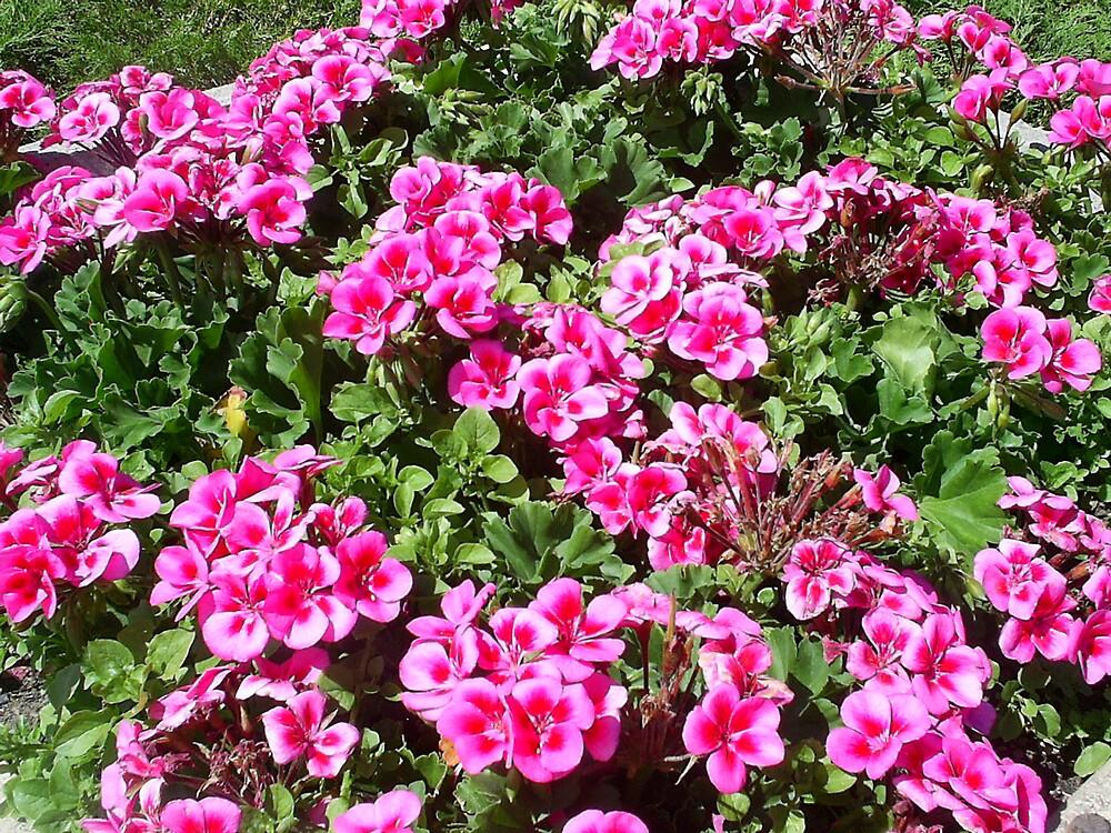 very pink flowers by oilersfan11