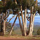 Gums Hancock's Lookout South Australia by Virginia  McGowan