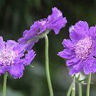 Purple Passion by heatherfriedman