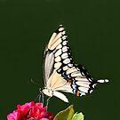 GIANT SWALLOWTAIL BUTTERFLY by TomBaumker