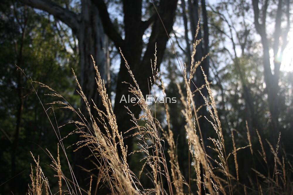 Grass in Light by Alex Evans